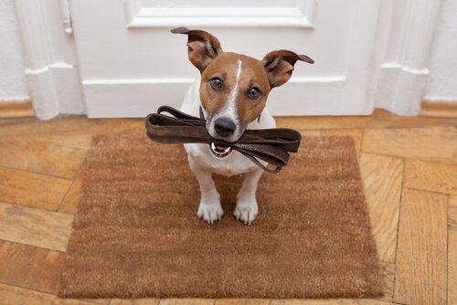 cão com a guia