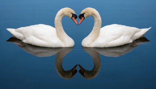 Casal de cisne, amor