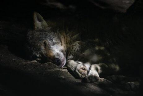 Comportamento dos lobos