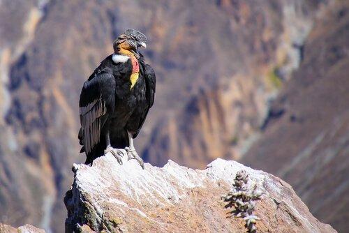Conheça o condor dos Andes, um pássaro majestoso