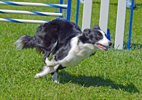 Border Collie em circuto para cães
