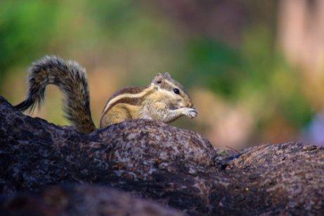 Esquilo tâmia