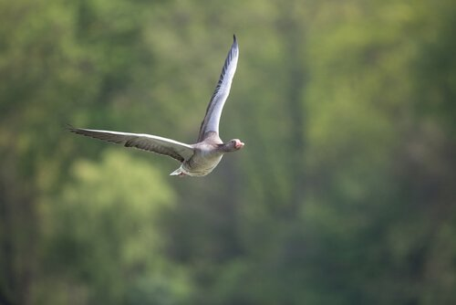 ganso voando