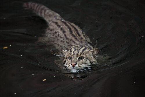 Gato pescador, um felino em perigo de extinção
