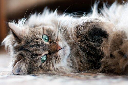 Gato da Sibéria