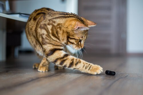 Gato brincando com inseto