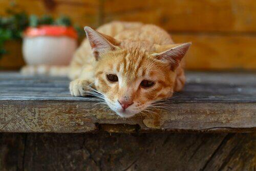 verme giardia em gatos)