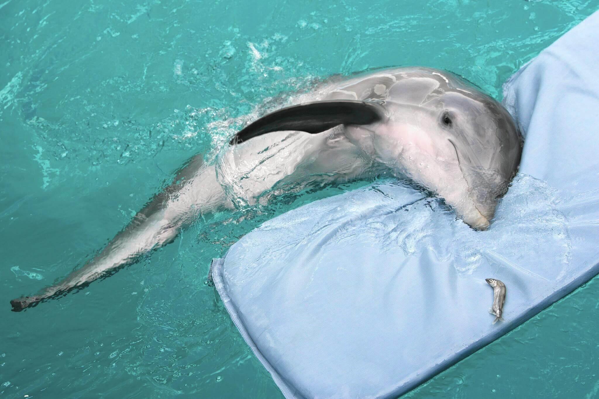 História real de Winter: o golfinho que perdeu a nadadeira