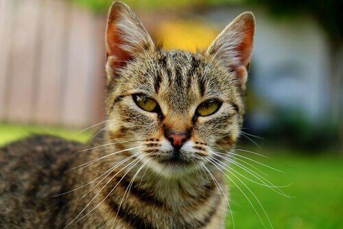 Gato tabby asiático