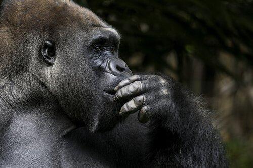 Koko a gorila