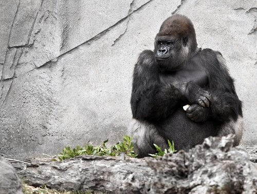 Koko, a gorila falante