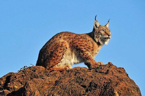 Como é a fauna da Península Ibérica?