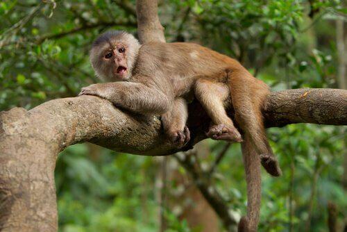 Comunicação macacos
