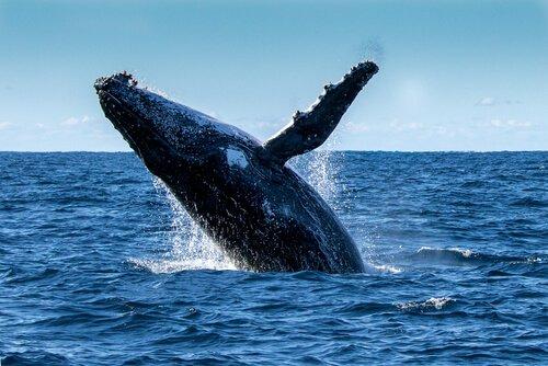 A história da baleia-jubarte que salva a vida de uma mergulhadora