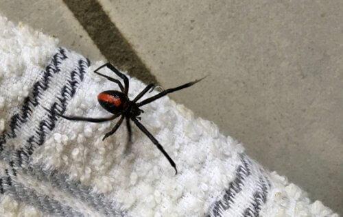 Por que você nunca deve matar uma aranha em sua casa
