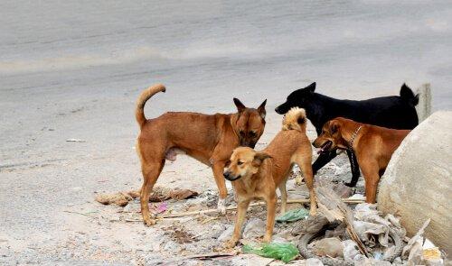 Cães de rua correm mais risco de infecção pelo parvovírus canino