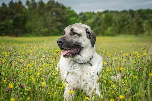 cão pastor da Anatólia