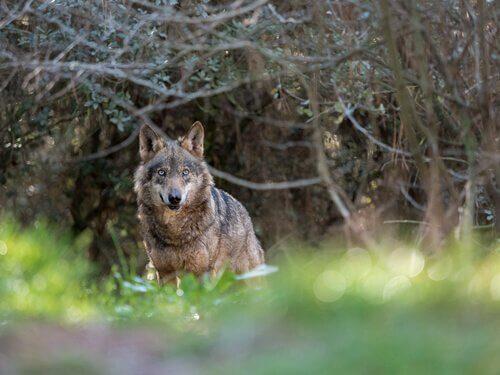 ataques de lobos aos humanos