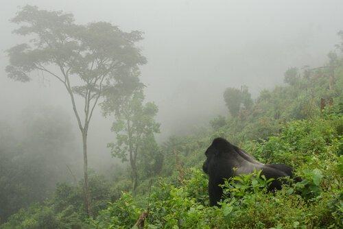 A população de gorilas de montanha atinge 1.000 exemplares