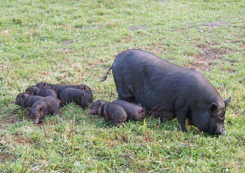 porcos vietnamitas mamando