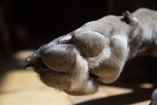 quinto dedo canino