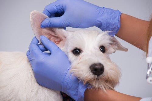 Veterinária examinando orelhas de um cachorro