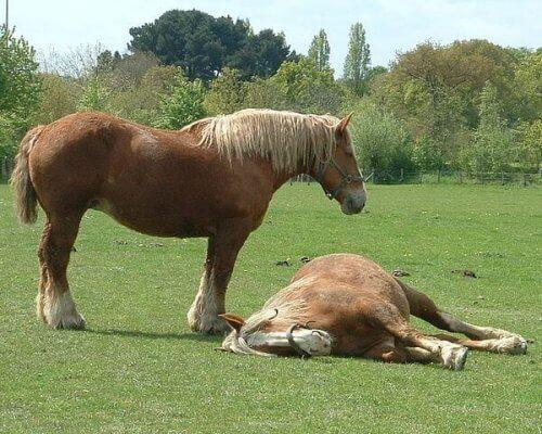 Cólica em cavalos: causas, sintomas e tratamento