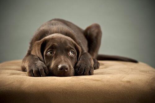 Aprenda a detectar os sintomas do parvovírus canino