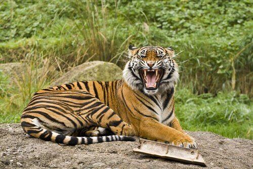 5 subespécies de tigres