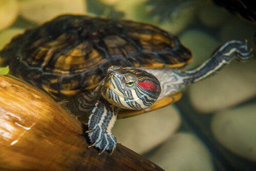 Por que ter uma tartaruga de água como animal de estimação é complicado?