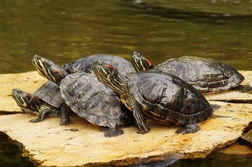 tartaruga de água como animal de estimação