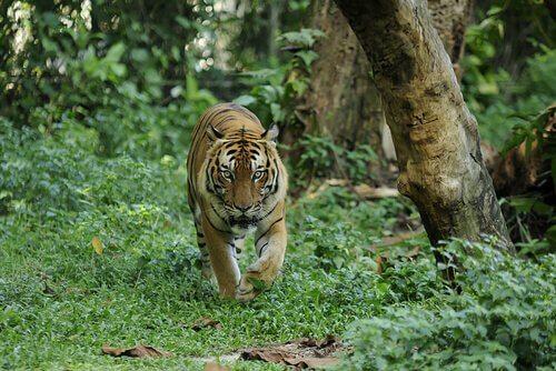 Tigre da Malásia