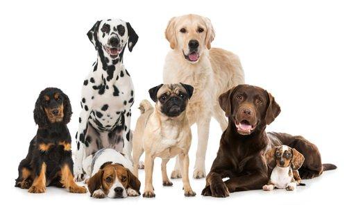 cães de raça perigosa
