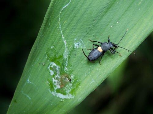 espécies de besouros: o besouro-bombardeiro