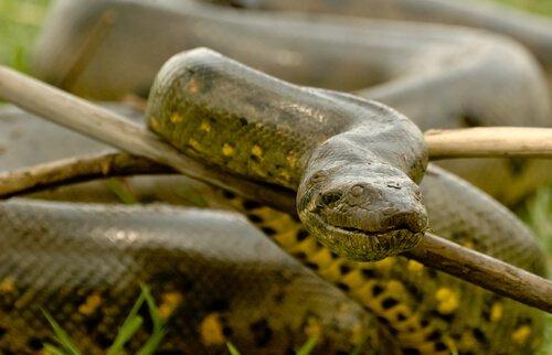 Sucuri: a maior cobra do mundo