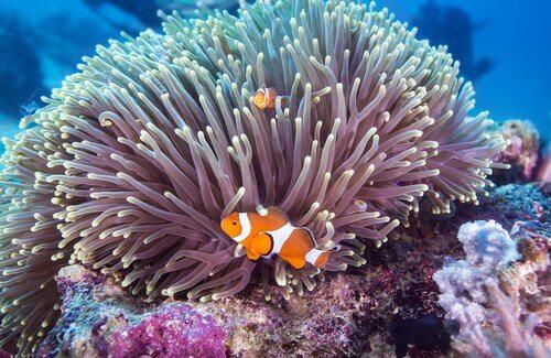 simbiose no reino animal: peixes-palhaço e anêmonas