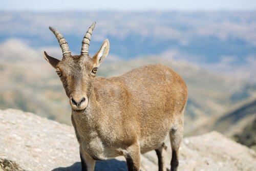 Ibex ibérico