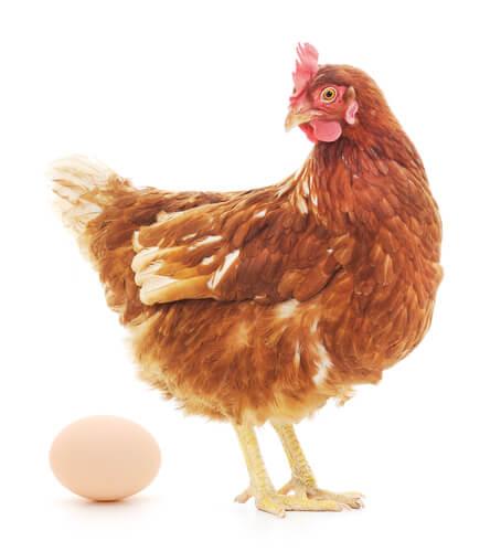 Galinha botando ovo