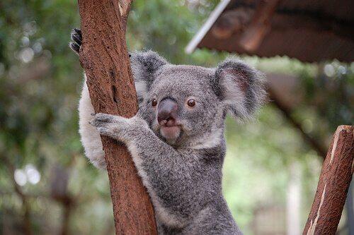 animais que vivem em árvores: coala