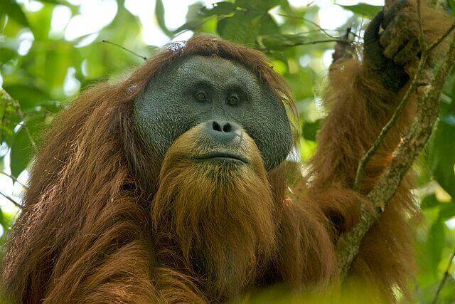 animais que vivem em árvores: orangotango