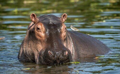 animais que vivem em rios: Hipopótamo