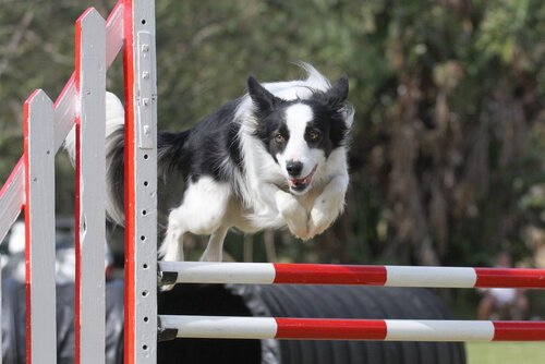 Agility border collie