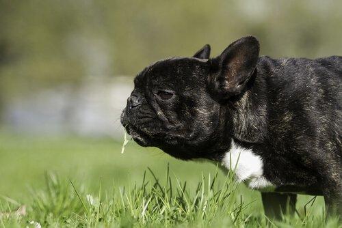Pug preto comendo grama