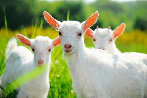 A melhor alimentação para cabras