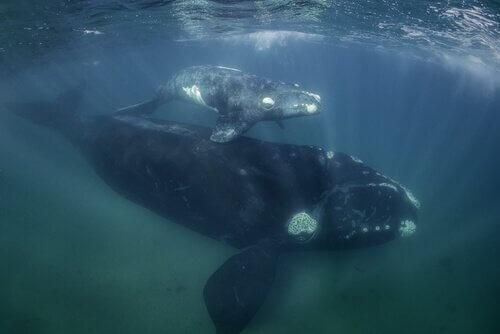 baleia com filhote