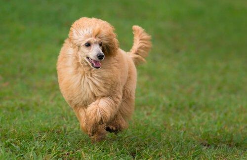 Poodle está entre os cães mais obedientes