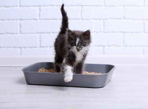 Filhote de gato saindo da caixa de areia