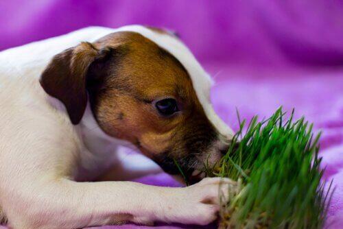 Cão comendo grama