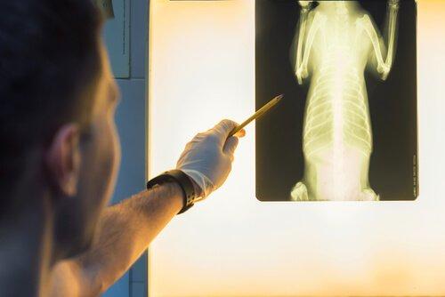 Veterinário analisando raio x de um cão