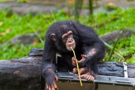 Os chimpanzés com lança de Fongoli